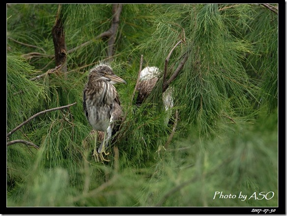 夜鷺(2008-07-30鰲鼓溼地)0126