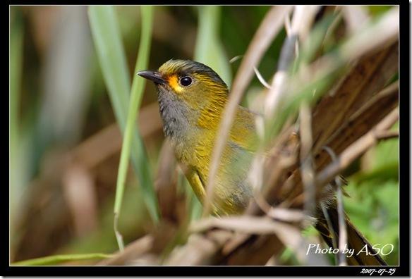 藪鳥(2008-07-25上巴陵)0361