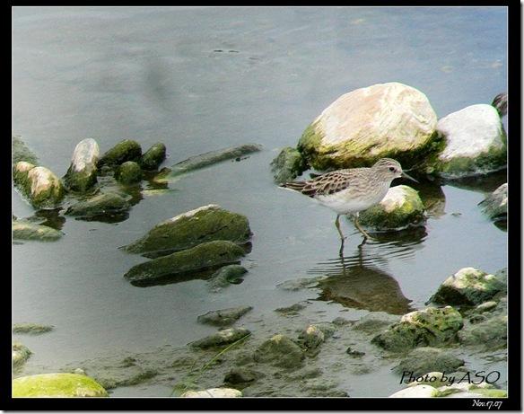 雲雀鷸(2007-11-17佳里)0012