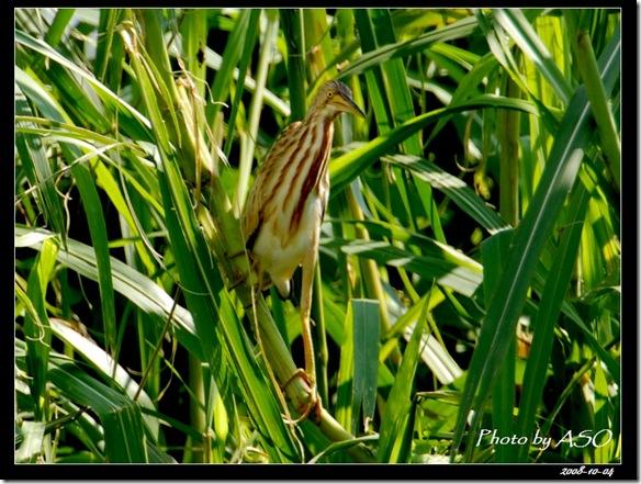 黃小鷺(2008-10-04壽豐養殖區)0228