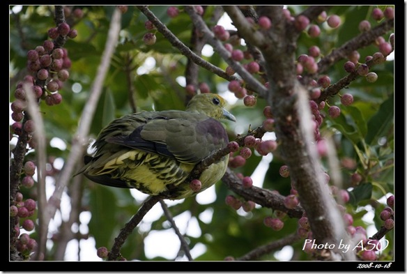 紅頭綠鳩(2008-10-17社頂)9027