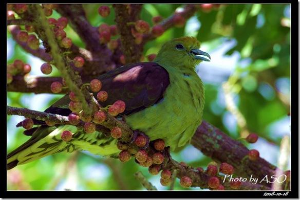 紅頭綠鳩(2008-10-17社頂)9324