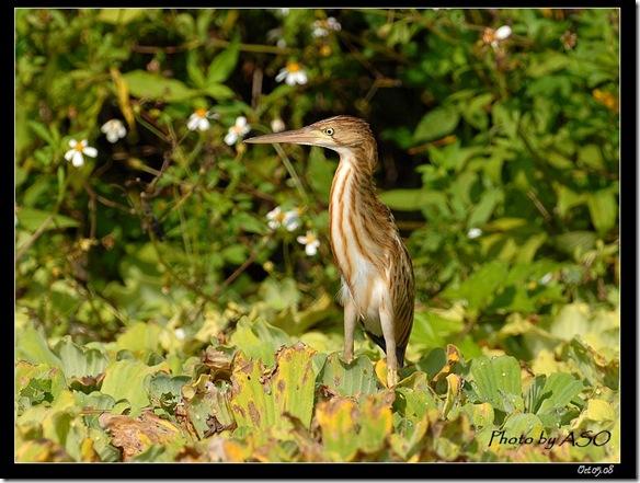 黃小鷺(2008-10-05壽豐豐坪)0272