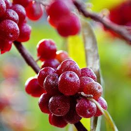 Reddish fruit by Cengiz Tasci - Nature Up Close Gardens & Produce ( fruits, reddish, trees, leaves, garden )