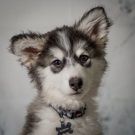 Cold & Wet Talkeetna at 11 Weeks by Stuart Partridge - Animals - Dogs Portraits