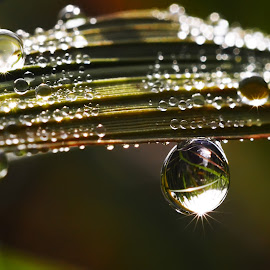 Rice leave by Muhamad Lazim - Nature Up Close Water ( macro, nature, grass, dew drops, flare, leaves,  )