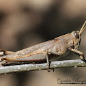 Gray Bird Grasshopper