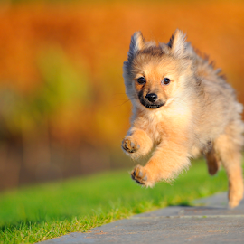 leap of faith  by Michael Sweeney - Animals - Dogs Portraits ( faith, joy, d3 dog, coulors, michael m sweeney, glasgow green, 200 mm, nikond3, adorable dogs, magic, nikondog, nikonpro, puppy run, autumn run dog, pro, nikon, companion dog, light, natural, pomeranian, leap, hugo pomerainam )