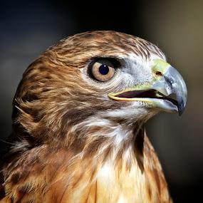 Portrait of a red-tailed hawk by Sandy Scott - Animals Birds ( birds of prey, red-tailed hawk, brids, raptors, hawk,  )
