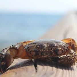 crab by Giorgos Ioannidis - Animals Sea Creatures ( wood, blur, beach, cyprus, crab )