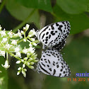 butterflies[Common Pierrot ]