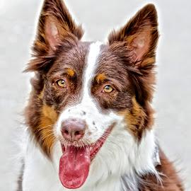 Australian Shepherd portrait by Sandy Scott - Animals - Dogs Portraits ( canine, pets, australian shepherd, dog, shepherd dog,  )