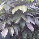 Pili tree