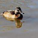 (Female) Ring-necked Duck