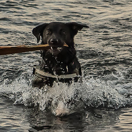 Girlpower by Elin Laxdal - Animals - Dogs Playing ( iceland, swim, girlpower, play, sea, dog,  )