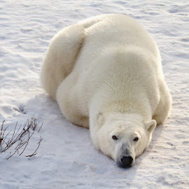 Tucked In  7531   by Karen Celella - Animals Other Mammals ( winter, snow, white, landscape, polar bear, cold )