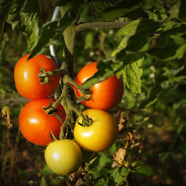 Tomatoes by Andreas Müller - Nature Up Close Gardens & Produce ( vegetable, close up, tomatoe )