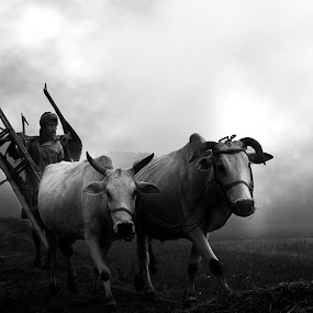 Foggy Morning   by Abhishek Mandal - Black & White Portraits & People ( foggy, cultivation., cultivator, morning, pulled, cows, plough, Travel, People, Lifestyle, Culture )