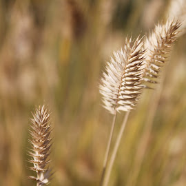 Wheat-like Grass by Shelly Priest - Nature Up Close Leaves & Grasses ( wheat, macro, nature, grass, seeds, head )