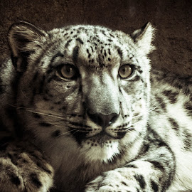 Snow Leopard by Stefan Ng - Animals Lions, Tigers & Big Cats