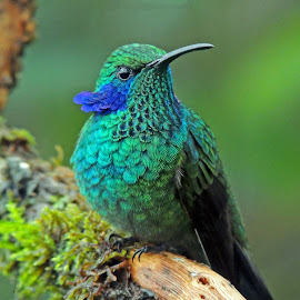 Green Violetear  by Mauro Román - Animals Birds ( green violetear  colibrithalassinus   costarica hummingbird love beauty awsome )