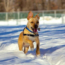 Rucker playing in snow by Matt Connors - Animals - Dogs Running ( jack russell, dogs, pitbull, snow, dog )