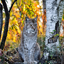 Lynx, bobcat by Milena Buranello - Animals Lions, Tigers & Big Cats ( cat, bobcat, autum, lynx, norway )