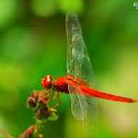 Scarlet Skimmer - Male