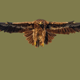 steppe eagle by Raj Dhage - Animals Birds ( bird, fly, flight )