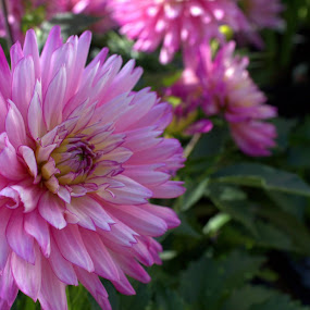 Sunny Pink by Doug Maertz - Flowers Single Flower (  )