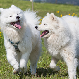 Life is great! by Peter Grutter - Animals - Dogs Playing ( dogs, working dog, play, samoyed, fun, running )