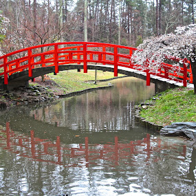 Red Bridge Reflection by Kathy Suttles - Buildings & Architecture Bridges & Suspended Structures ( suttleimpressions, reflection, white buds, red, oriental, bridge, duke univ gardens, spring, reflecting )
