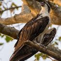 Águia-pescadora(Osprey)