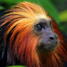 Golden Headed Lion Tamerin by Ralph Harvey - Animals Other Mammals ( tamarin, wildlife, ralph harvey, marwell zoo, animal )