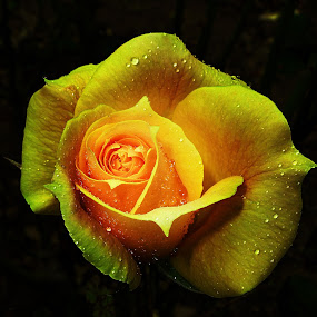 Yellow Rose by Vanalapha Chuasritrakul - Flowers Single Flower (  )