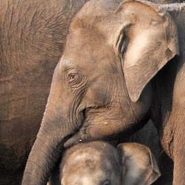 Mothers love by Sasanka Gamage - Animals Other Mammals