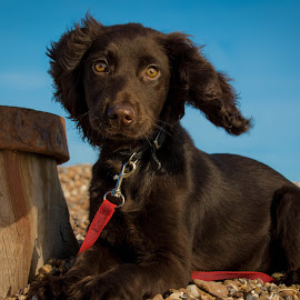 Springer Spaniel Puppy by Jenny Trigg - Animals - Dogs Puppies ( springer spaniel, dog photography, puppy, beach )