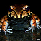 Smoky Jungle Frog