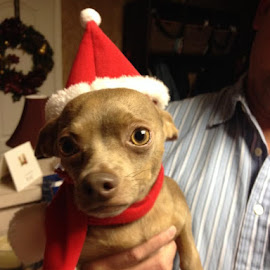 Choco Claus says Merry Christmas everyone! by Darla Chapin-Vestal - Animals - Dogs Puppies