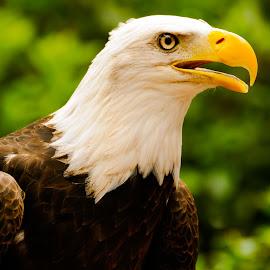 Bald eagle by Andrew Block - Animals Birds ( eagle, fly, bald eagle, soar, animal )