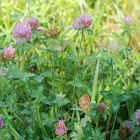 Red Clover