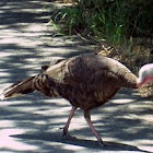 Wild Turkey Hen