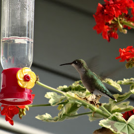 Hummingbird by Debbie Varady Schlotfeldt - Novices Only Wildlife