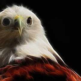 The Eagle by Sulistyo Aji - Animals Birds ( bird, macro, indonesia, animal )