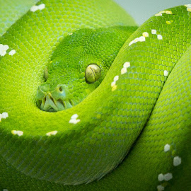 Green Snake by Lou Plummer - Animals Reptiles