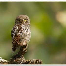 Jungle Owlet by Thirumoorti Ra - Animals Birds ( look, perched, jungle, owl, wildlife, india, birds )