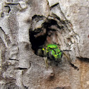 Metallic Green Bee - Nesting