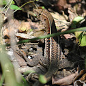 Puerto Rican Ground Lizard
