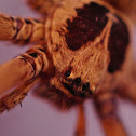 Brown Huntsman Spider (male)