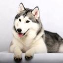 Husky Dog wallpaper mobile app icon